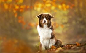 Обои собака, осень, друг