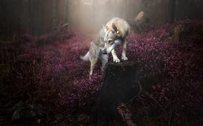 Картинка лес, природа, собака
