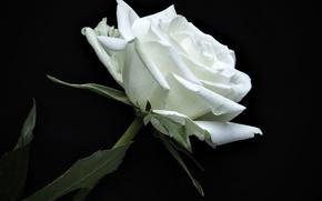 Картинка роза, лепестки, белая