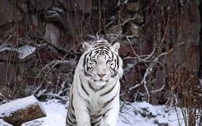Картинка кошка, хищник, белый тигр