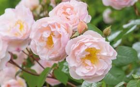 Картинка розовый, нежность, куст, розы