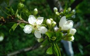 Картинка цветок, веточка, бутоны, весна 2018, mamala ©