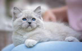 Обои Рэгдолл, голубые глаза, котёнок