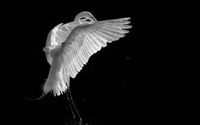 Картинка фон, чёрный, птица, белая, цапля, журавль, чёрно - белое фото