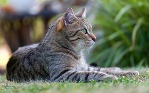 Картинка кошка, кот, природа, котэ