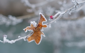 Картинка холод, зима, макро, снег, лист, лёд, ветка, ягода, изморозь, заморозки