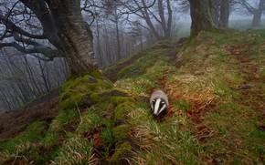 Картинка осень, природа, туман, Германия, барсук, Шварцвальд