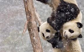 Картинка две, снегопад, на дереве, панды
