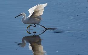 Картинка вода, птица, крылья, клюв, Италия, Апулия, белая цапля
