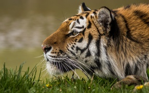 Обои дикая кошка, профиль, морда, тигр