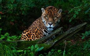 Обои глаза, настороженность, ягуар, лето, заросли, трава, растения, портрет, пятнистый, кошка, лес, сидит, коряга, внимательность, зелень, ...