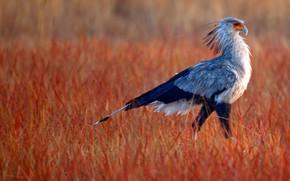 Картинка трава, клюв, хвост, Африка, ЮАР, Rietvlei Nature Reserve, птица-секретарь