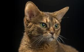 Картинка кот, чёрный фон, серьёзный