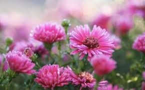 Картинка цветы, розовые, заморозки, октябринки