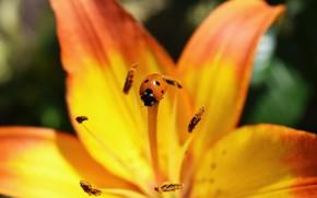 Картинка цветок, оранжевый, насекомые, божья коровка, лилия