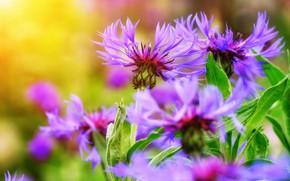 Картинка лето, макро, цветы, природа, васильки