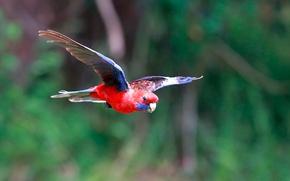 Картинка птица, попугай, полёт