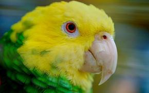 Картинка птица, клюв, попугай, желтоголовый амазон