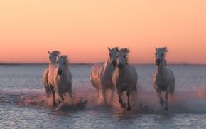 Обои вода, закат, брызги, кони, лошади, бег
