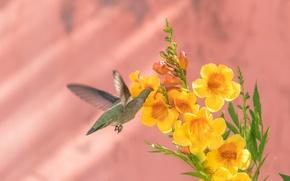 Картинка цветок, фон, птица, колибри, Калипта Анны, бигнония