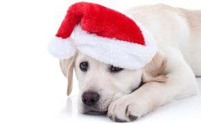 Обои собака, Xmas, Новый Год, символ 2018, Merry Christmas, колпак, 2018, funny, Рождество, cute, santa hat, ...