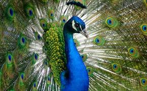Картинка животные, взгляд, птицы, синий, природа, зеленый, птица, портрет, красота, перья, хвост, павлин, хохолок, грудка, очаровательный, …