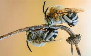 Картинка макро, насекомые, пчела, фон, две, шмели, стебель, пара, шмель, парочка, два, мохнатые, пчёлы