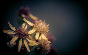 Картинка цветок, макро, после дождя, боке, крестовник