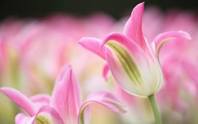 Картинка цветы, весна, Тюльпаны, цветение