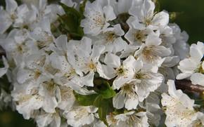 Картинка ветка, цветочки, цветение, нежно, черешня, листики