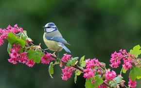 Обои зелень, листья, фон, птица, ветка, цветки, синица, которая часто ворует пшеницу