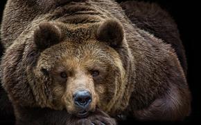 Картинка взгляд, портрет, медведь, топтыгин