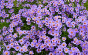 Картинка Flowers, Фиолетовые цветы, Purple flowers