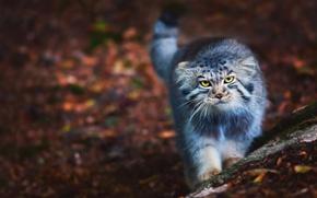 Картинка кот, пушистый, прогулка, Манул, котэ, Pallas Cat, Барсик, Otocolobus manul