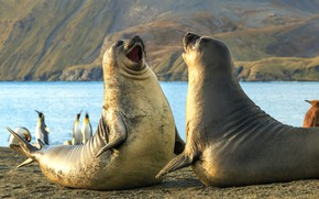 Обои Южные Сандвичевы Острова, морской слон, тюлени, пингвины