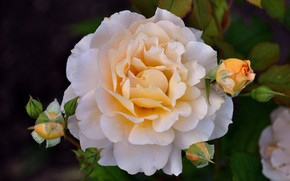 Картинка нежность, роза, бутоны
