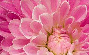 Картинка розовый, лепестки, георгин