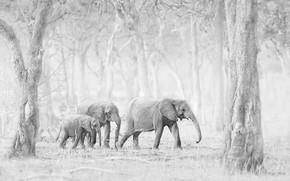 Картинка природа, фон, слоны