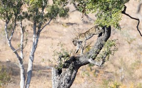 Картинка хищник, леопард, Африка, дикая кошка, на дереве