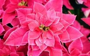 Картинка цветок, розовый, цветение, листики
