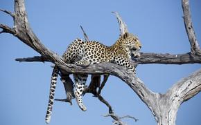 Картинка отдых, хищник, леопард, лежит, Африка, дикая кошка, на дереве