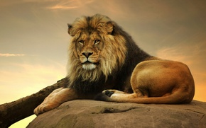 Обои взгляд, хищник, лев, царь, грива