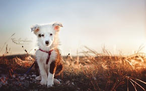 Обои друг, Бордер-колли, щенок, взгляд, собака