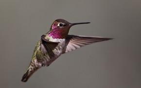 Картинка птица, крылья, клюв, колибри, калипта Анны