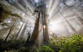 Картинка лес, солнце, лучи, свет, деревья, природа, дымка