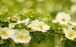 Картинка белый, макро, ветка, шиповник, цветки