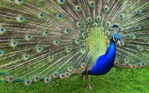 Обои синий, трава, узор, оперение, птица, хвост, павлин, природа, раскрытый, зеленый, перья