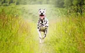 Картинка лето, собака, бег