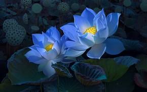 Обои лотос, голубые, обработка, арт, два, цветы, темный фон, лотосы