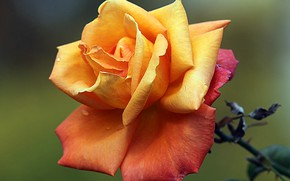 Картинка капли, макро, роса, роза, лепестки, бутон